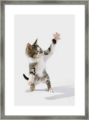 Kitten Framed Print by Thomas Kitchin & Victoria Hurst