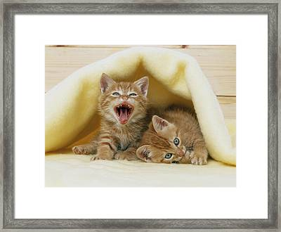 Kittens Under A Blanket Framed Print by Mitsuyoshi  Tatematsu