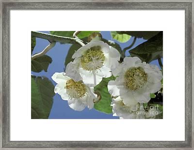 Kiwifruit Blossoms Framed Print by Ron Sanford