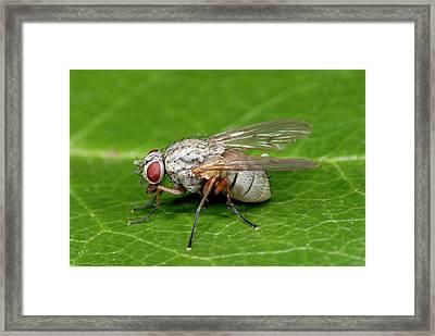 Kleptoparasitic Fly Framed Print by Nigel Downer
