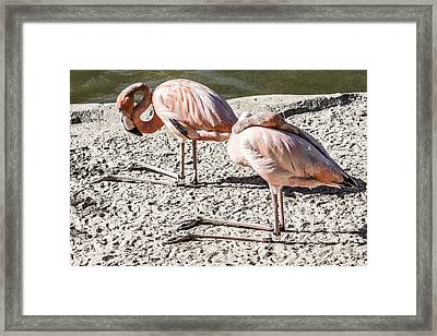 Kneeling Flamingos Framed Print