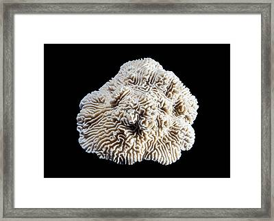 Knobby Brain Coral Framed Print by Natural History Museum, London