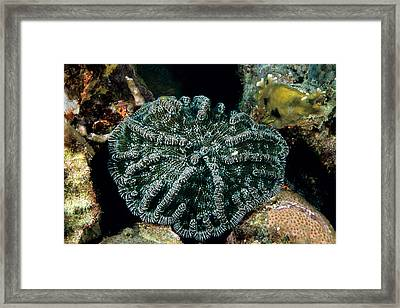 Knobby Cactus Coral Mycetophyllia Framed Print by Andrew J. Martinez