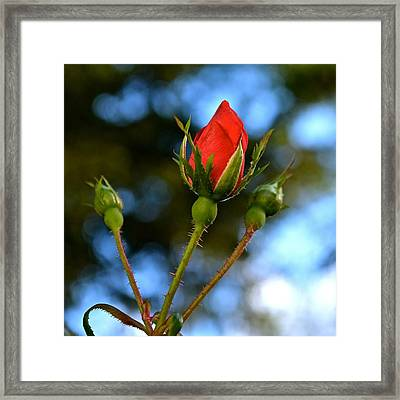Knockout Rosebud Framed Print