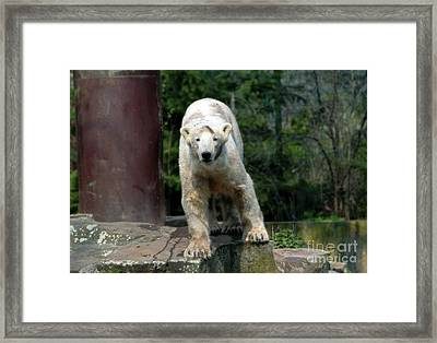 Knut Framed Print by John Rizzuto