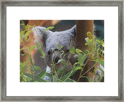 Koala Bear  Framed Print by Dan Sproul