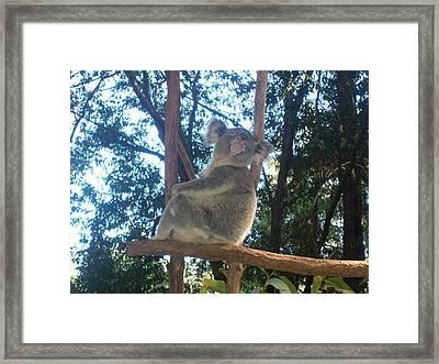 Koala Bear In Australia Framed Print