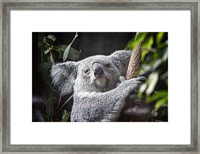 Koala Bear Framed Print by Tom Mc Nemar
