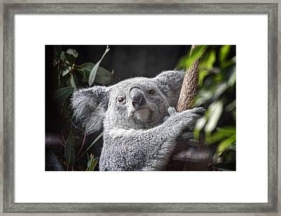 Koala Bear Framed Print by Tom Mc Nemar