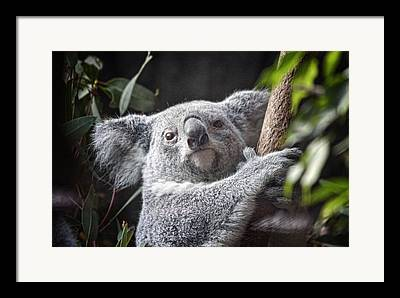Marsupial Photographs Framed Prints