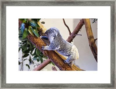 Koala Climbing Tree Framed Print by Chris Flees