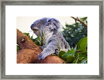 Koala Eating In A Tree Framed Print by Chris Flees