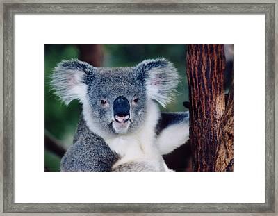 Koala Full Face Framed Print