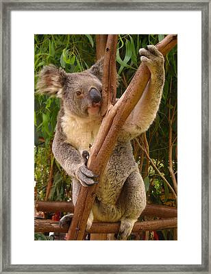 Koala  Framed Print by Laura Hiesinger