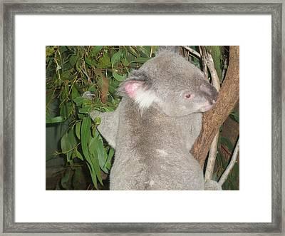 Koala In Tree Framed Print