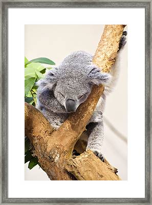 Koala Sleeping  Framed Print by Chris Flees