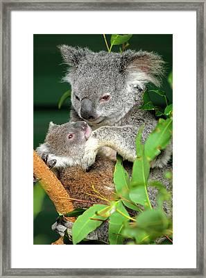 Koalas Framed Print by Bildagentur-online/mcphoto-schulz