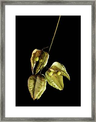 Koelreuteria Paniculata Fruits Framed Print by Gilles Mermet