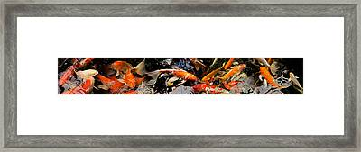Koi Carp Framed Print by Panoramic Images
