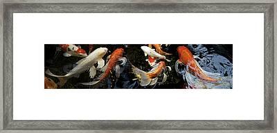 Koi Carp Swimming Underwater Framed Print