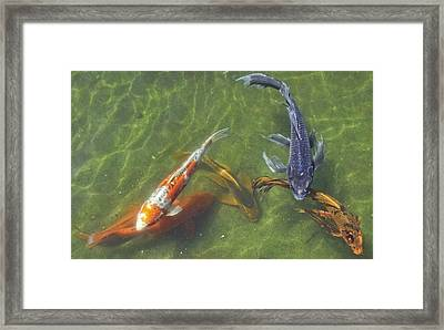 Koi Framed Print by Daniel Sheldon