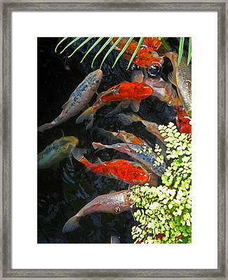 Koi Fish I Framed Print by Elizabeth Hoskinson