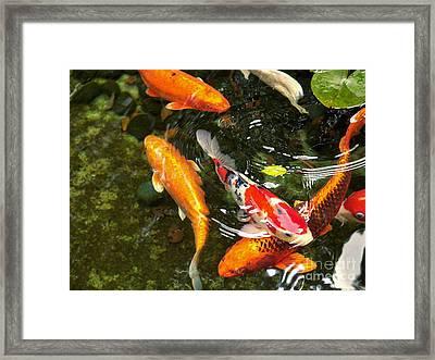 Koi Fish Japan Framed Print by John Swartz