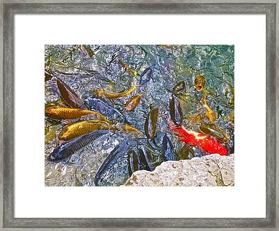 Koi Frenzy Framed Print
