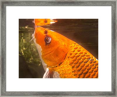 Koi Sipping At Surface Framed Print by Jean Noren