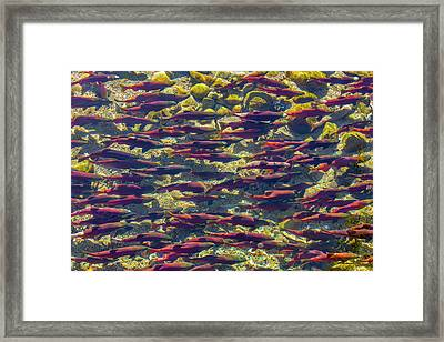 Kokanee Salmon Head Upstream Framed Print