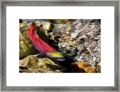 Kokanee Salmon Heading Upstream Framed Print by Chuck Haney