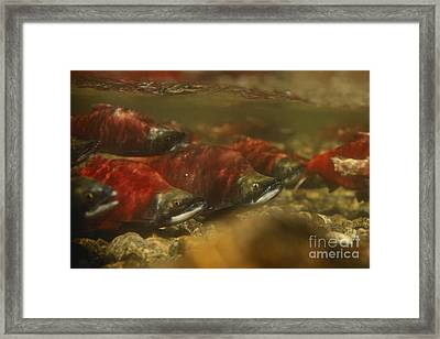 Kokanee Salmon Framed Print