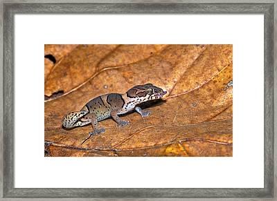 Kollegal Ground Gecko Framed Print by K Jayaram
