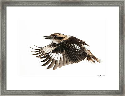 Kookabura In Flight Framed Print by Avian Resources