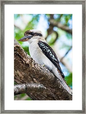 Kookaburra  Framed Print by Parker Cunningham