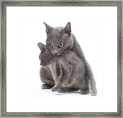 Korat Cat And Kitten Framed Print by Jean-Michel Labat