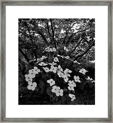 Kousa Dogwood IIi Framed Print by Michael Friedman