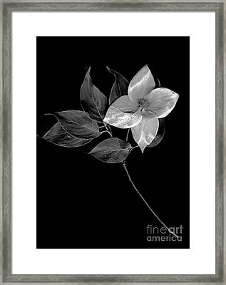Kousa Dogwood In Black And White Framed Print