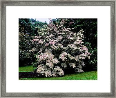 Kousa Dogwood Trees Cornus Kousa Framed Print