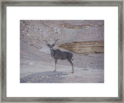 Kudu King Framed Print by Noreen HaCohen