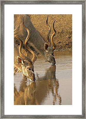 Framed Print featuring the photograph Kudus by Dennis Cox WorldViews