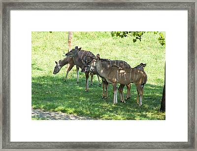 Kudu Antelope In A Straight Line Framed Print by Chris Flees