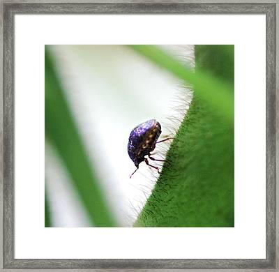 Kudzu Bug Framed Print by Richard Evans/us Department Of Agriculture