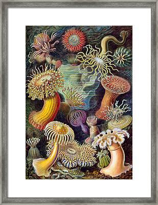 Kunstformen Der Natur. Actiniae Framed Print by Adolf Giltsch