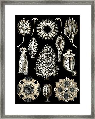 Kunstformen Der Natur. Calcispongiae Framed Print by Adolf Giltsch