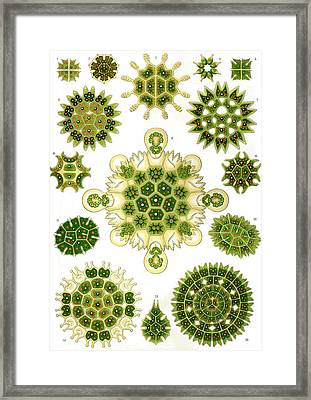 Kunstformen Der Natur. Melethallia Framed Print by Adolf Giltsch