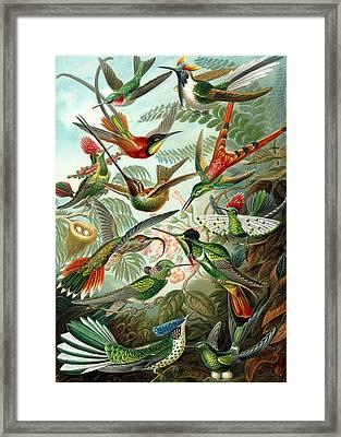 Kunstformen Der Natur. Trochilidae. Hummingbirds Framed Print by Adolf Giltsch