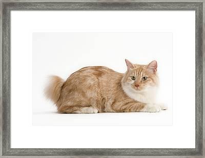 Kurilian Bobtail Cat Framed Print