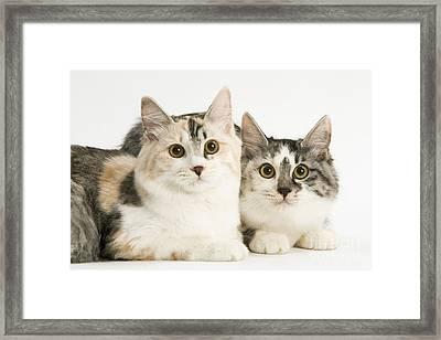 Kurilian Bobtail Cats Framed Print