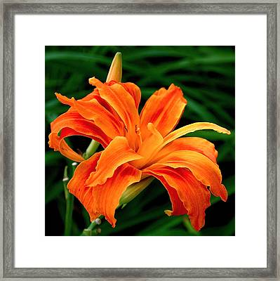 Kwanso Lily Framed Print by Rona Black